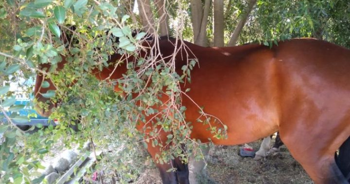 Salieron a caballo a delinquir y fueron detenidos por la Policía de Río Negro