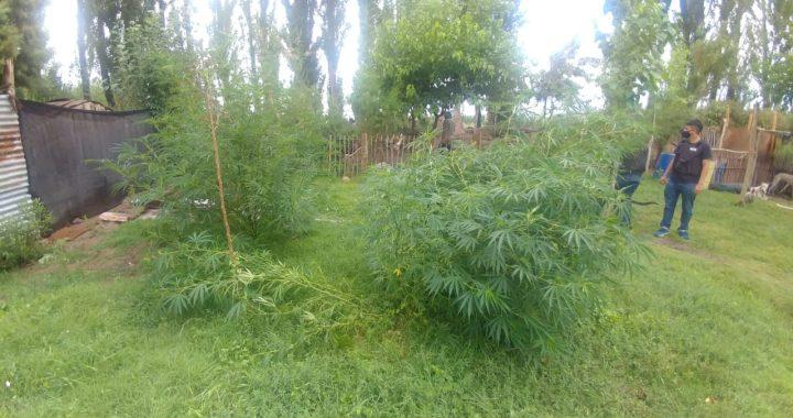 Secuestran plantas de marihuana en Valle Azul